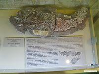 Отпечаток раздавленной осадочными породами кистепёрой рыбы.