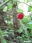 И вкусные красные сладкие ягодки.