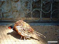 Фазаны, фазаны... королевская охота... курица и есть курица, даже если она разноцветная.