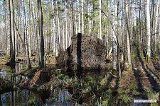 Лесной исполин упал, и выворотил корнями несколько кубометров земли.