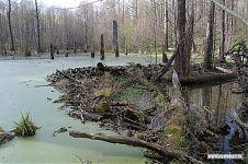 Бобровая плотинка.