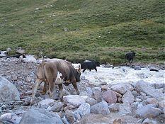 Коровки переходят вброд, и их практически сбивает с ног.